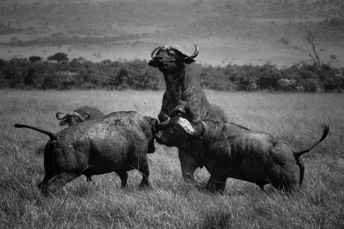 A play fight turns nasty, these bulls are not to be messed with