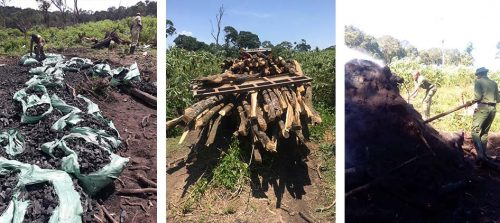 The Nyakweri Forest is under threat by illegal logging and charcoal operations
