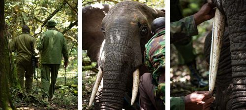 The Mara Elephant Project and Kenya Wildlife Service work together to collar Fitz