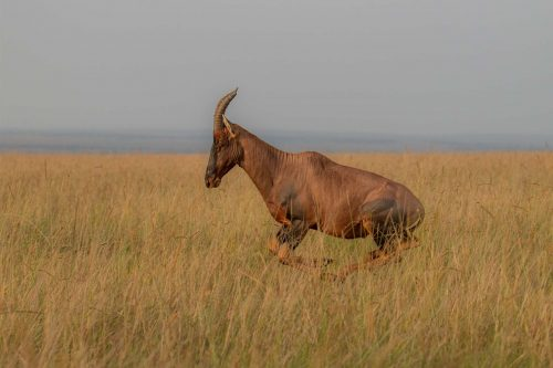 A topi in full flight, but will it be enough to keep the other males at bay?