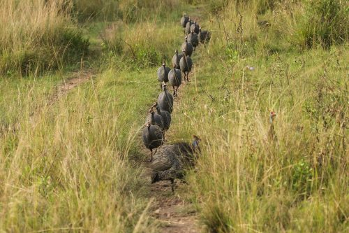 The guinea fowl leave their roosting tree and are ready for a busy day of foraging