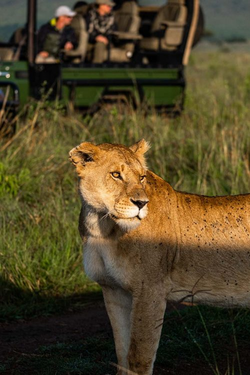 Topi have attracted the attention of more than just this Angama Pride female