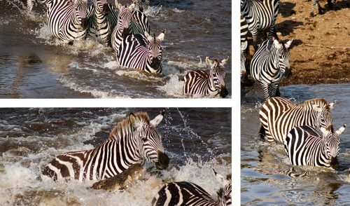 Miraculously all the zebras in this herd made it across safely – much to Charlotte's relief