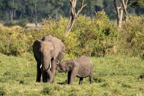 An elephant calf will suckle from its mother for roughly four years