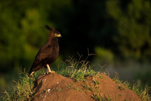 The long-crested eagle always strikes a pose