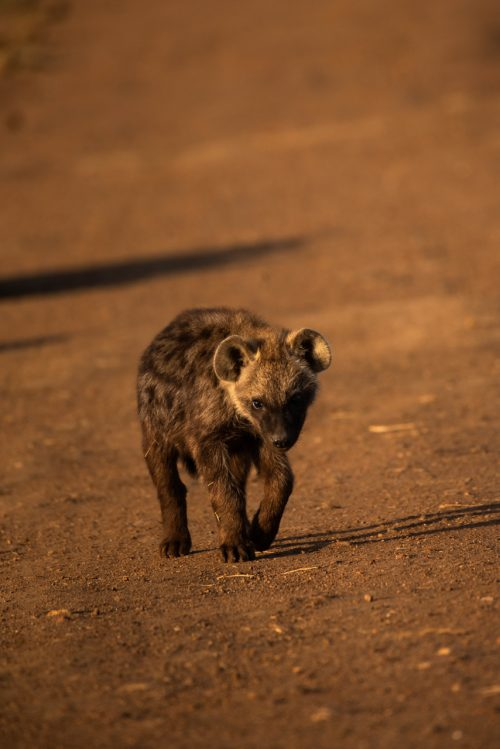 The cubs of the northern clan have been terrorising the road below Angama Mara, lucky for us