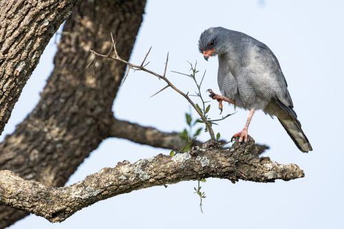 This pair of dark chanting goshawks have found a lovely spot, and they're keeping it, thank you very much