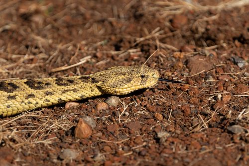 The male puff adder uses his Jacobson's organ to relocate his date