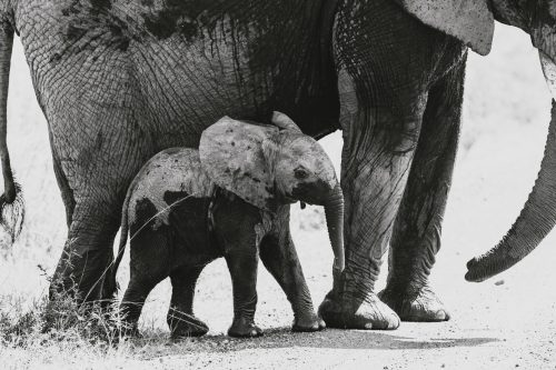 Even though it's one of many, we can't stop looking at this elephant calf - look at his little feet