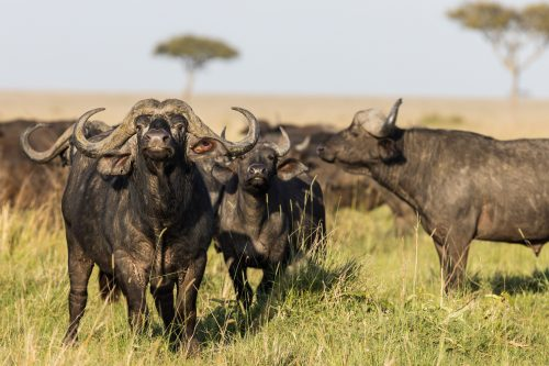 These big herds of buffalo are never alone as they move unendingly across the plains looking for greener pasture