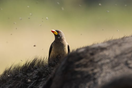 Catching a ride and a meal at the same time, this yellow billed oxpecker has found himself a sweet deal