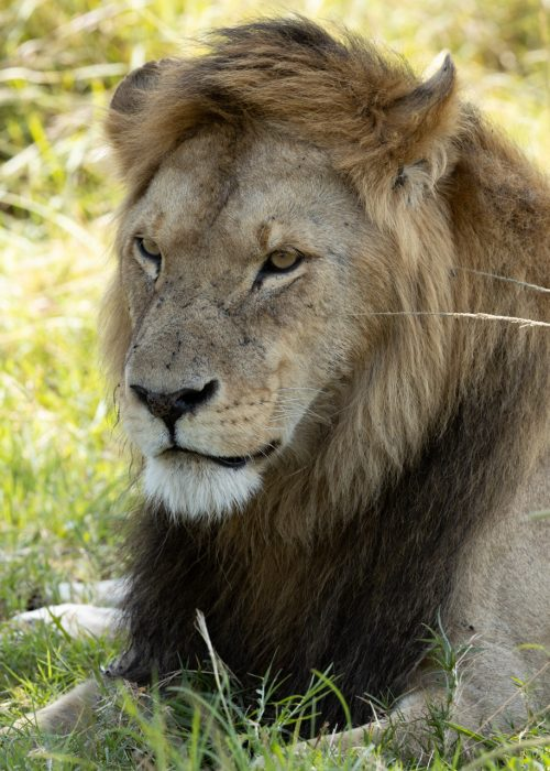Olalashe is in the midst of a torrid time. He is surrounded by larger, more experienced males, and it will take a lot of work and courage if he is to stay in control of the Owino Pride