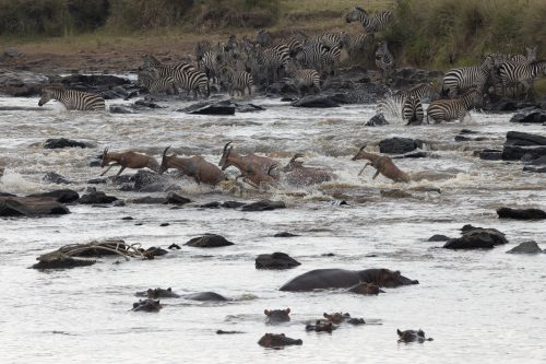 Above: The mad dash across the Mara River is one not all will survive