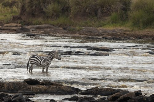 A zebra looks on at the devastation left in its wake