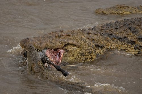 The sheer size of the crocodiles is impressive in itself