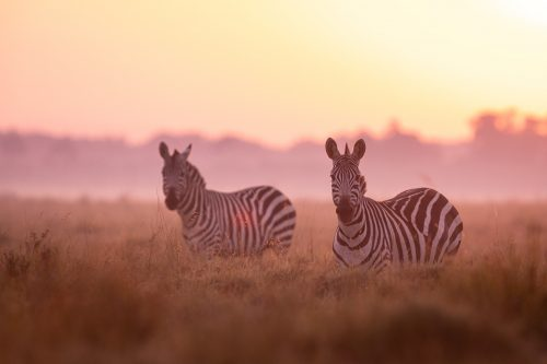 Zebras bathed in early morning light