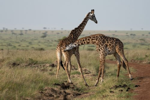 The giraffe continue to throw punches