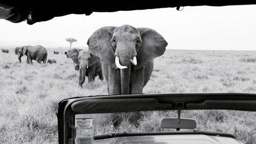 A curious elephant comes to see what all the fuss is about