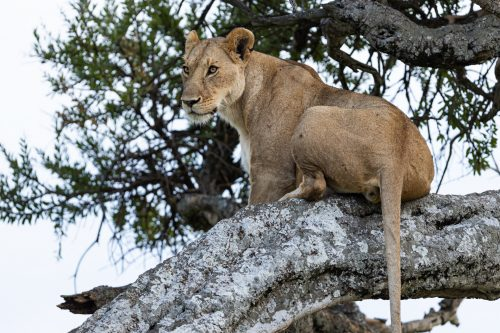 A lion's size and weight makes it quite a feat to climb trees