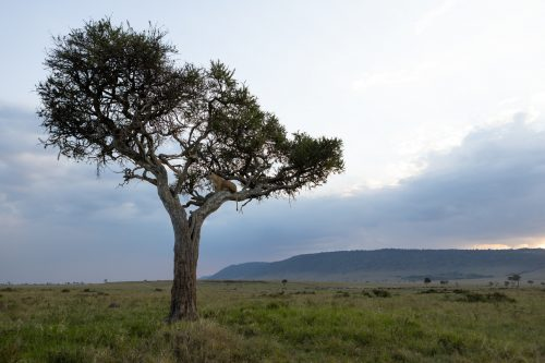 'Tree-climbing-lions' is not often seen elsewhere