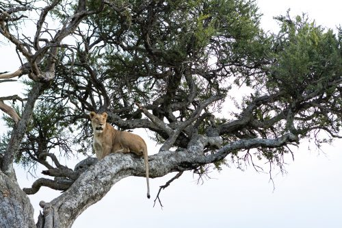 An Angama Pride lioness enjoying her new perspective