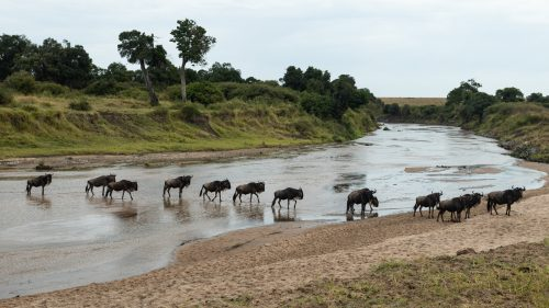Above: The Great Migration has begun its annual procession into the Mara