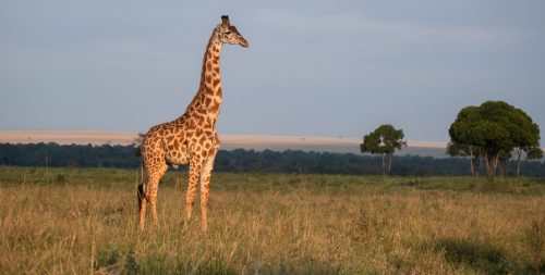 Above: A giraffe looks out over a new day