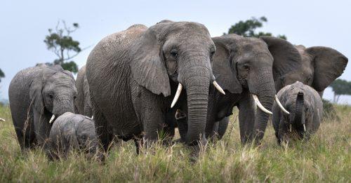 Above: A lovely herd of elephants wanders the plains below Angama Mara