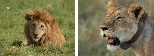 This male is the least sighted of the five Inselberg Males, whereas Mama Kali's presence is near-constant in the grasslands below Angama