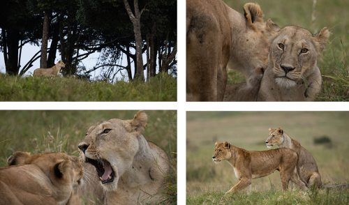 The Angama Pride lionesses seem to be centralising their movements around a heavily forest drainage line. One of the lionesses has enlarged teats. Could it be that buried deep inside the forest is a den site? We wait with anticipation…