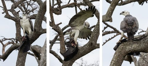 A martial eagle with its victim