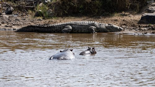 Perhaps an all-time-first; a hippo is completely dwarfed by another creature