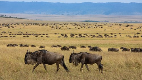The sheer scale of the migrating herds illustrate the expansiveness of the Mara