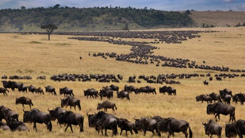 Hundreds of thousands of animals moving in sync