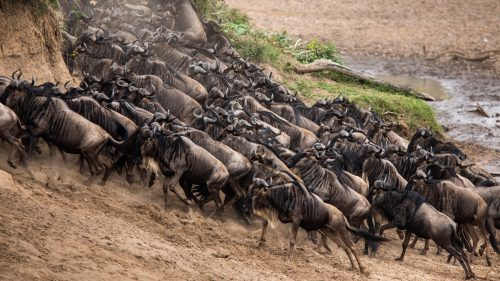 With the mega herds out of play, the smaller herds have held the spotlight as they continue to cross the Mara River