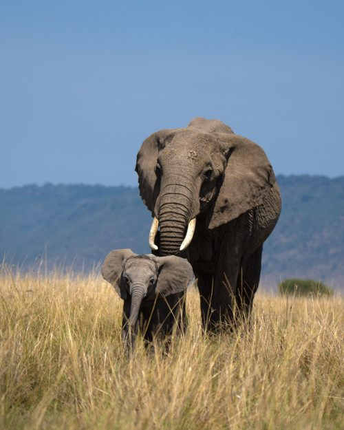 Elephant calves are famous for their delightful curiosity, and this one was no exception