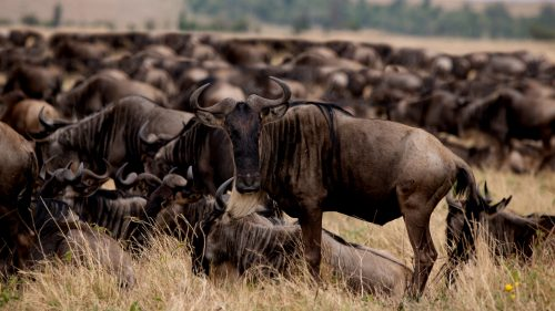 The continual drive for greener pastures is bringing some herds back into the triangle