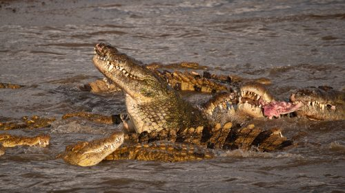 With fewer crossing, the mighty beasts are relegated to fighting over scraps