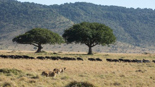 Many are delighted by the wildebeest's return, none more so than the lions