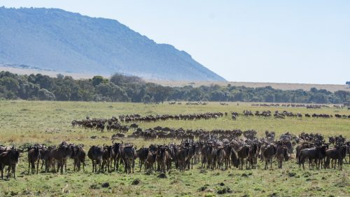The wildebeest also seem happy to be back, with food and friends aplenty
