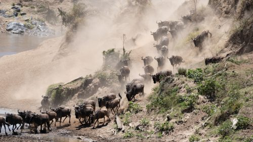Kicking up clouds of dust, the wildebeest know how to set a dramatic scene