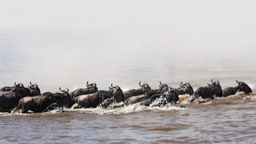 Everything in nature is connected and the wildebeest's thinking is hardwired to the weather