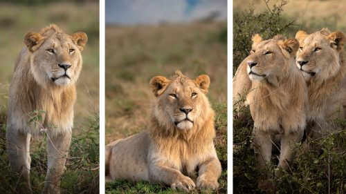 These two beautiful nomadic male lions were spotted not too far from the big wildebeest herds - they look like trouble