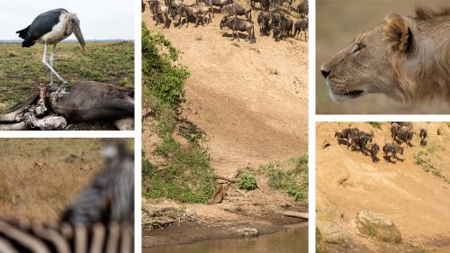 Crocodile, lions, leopards, you name it –the migrating herds have to overcome it all