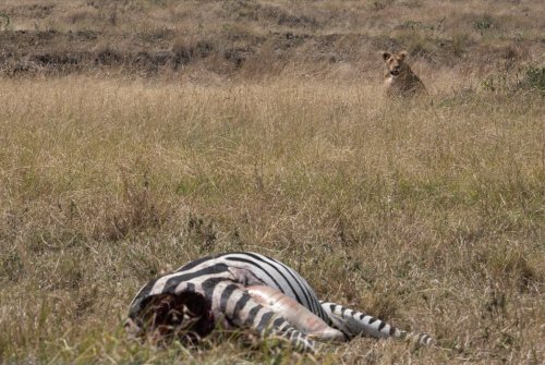 The welcome party was not kind to this zebra