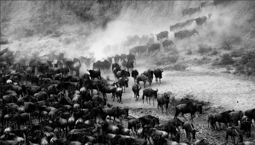 If one looks closely, you'll find that wildebeest are emotionally intelligent creatures