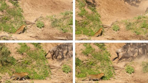 A sneaky leopard is another factor to account for in their life-or-death equation