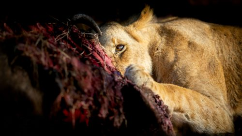 Light and dark: a lioness with her kill