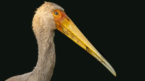 Details of a yellow-billed stork