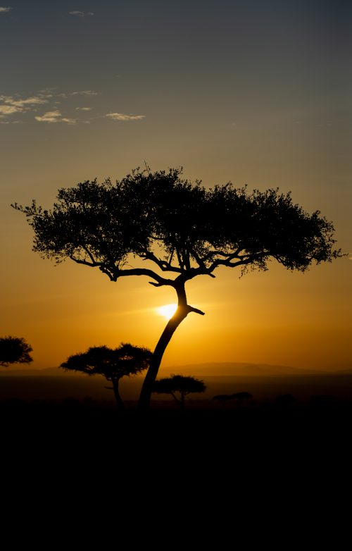 Desert date trees that dot the Mara at early morning